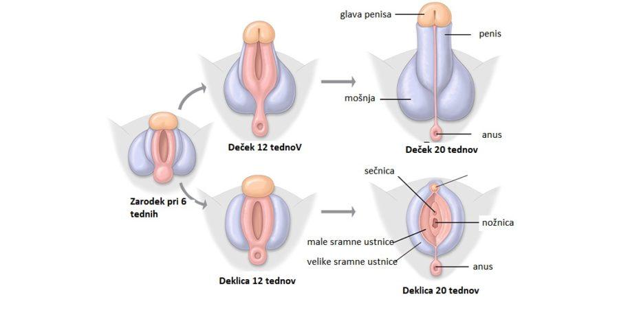 Nastanek penisa pri zarodku